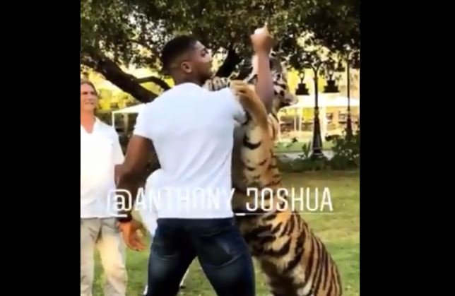 Anthony Joshua Meets Some Tigers